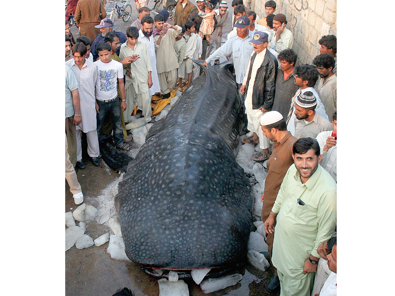 trawling nets not sharks who smell profit are the enemies of these giant fish