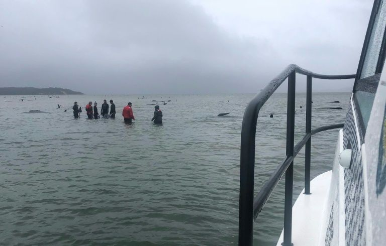 Rescuers are trying to help the surviving whales get back into the open ocean. AFP