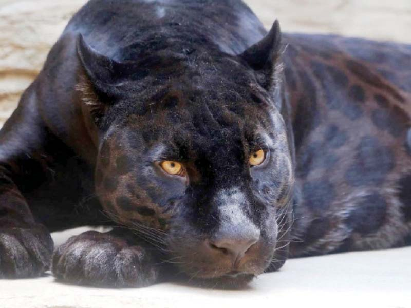 rare black jaguars to undergo fertility tests at lahore zoo safari