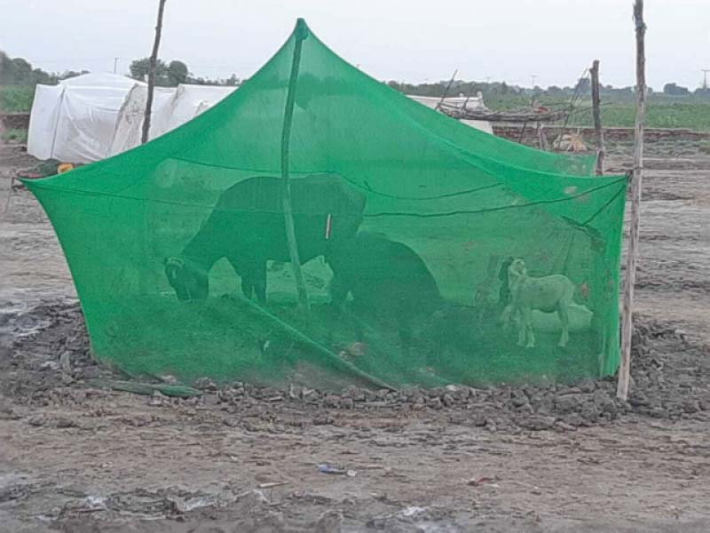 humans and cattle huddle under mosquito nets in lower sindh following exponential growth in the insect s population in the aftermath of monsoon rains photo express