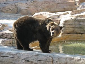 explanation sought for delayed transfer of bears