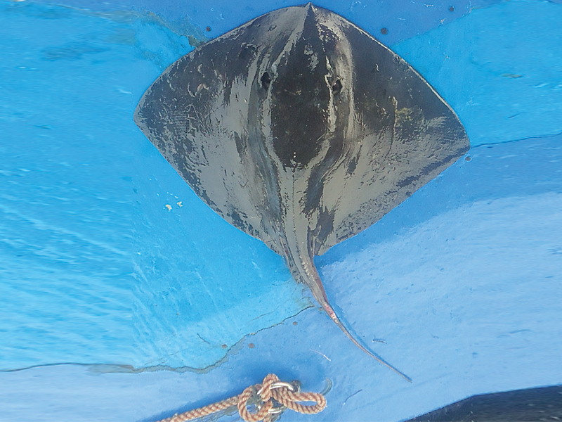 a rare species of the pelagic whiptail stingray was spotted off the ormara coast in balochistan by wwf scientists photo courtesty wwf op