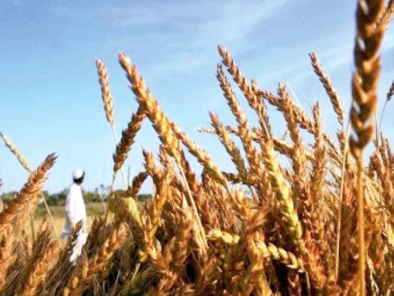 in 2013 passco purchased 1 15 million tons of wheat in the provinces of punjab and sindh at the support price of rs1 200 per 40 kilogrammes photo file