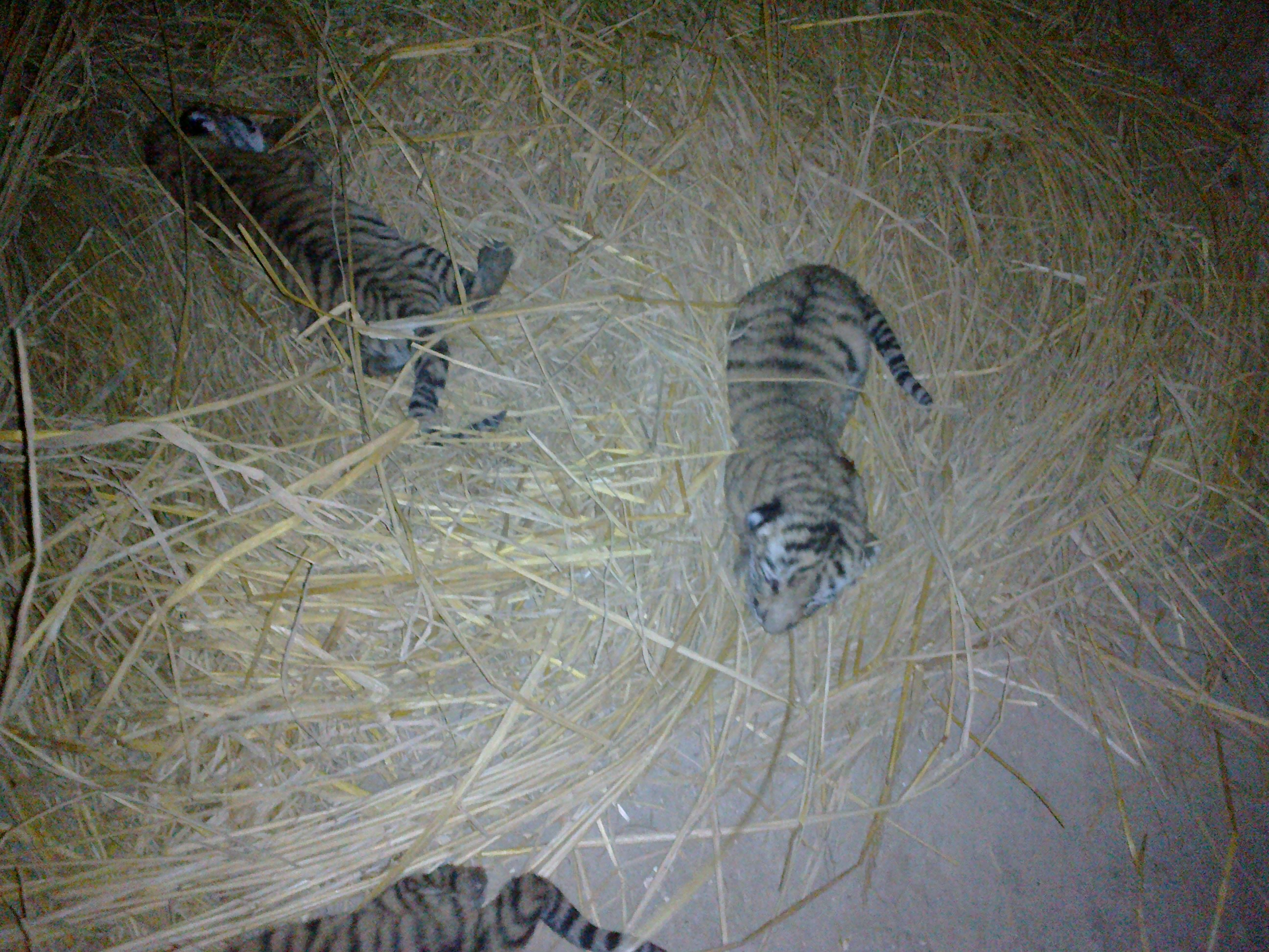 new born cubs of a bengal tiger at the bahawalpur zoo photo express