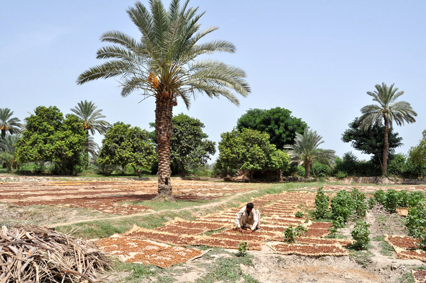 at least 21 farmers from makran kech and panjgor attended the training course organised by agriculture poly technique institute api and other organisations in collaboration with date palm research institute salu khairpur photo afp file