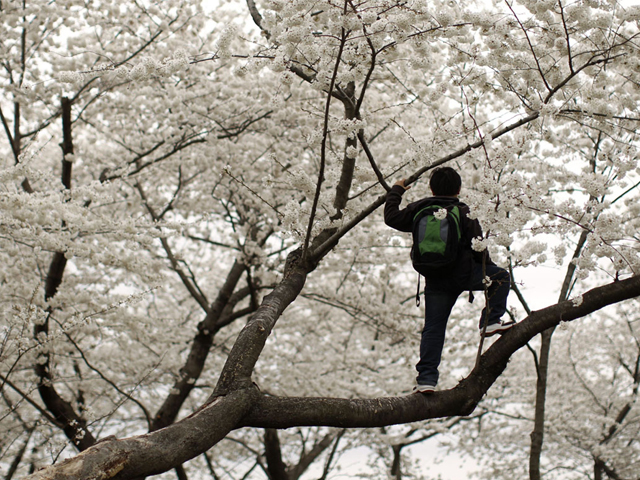 His work paid off and the trees broke through; up sprung the cherry blossoms, the land aglow and anew. PHOTO: REUTERS