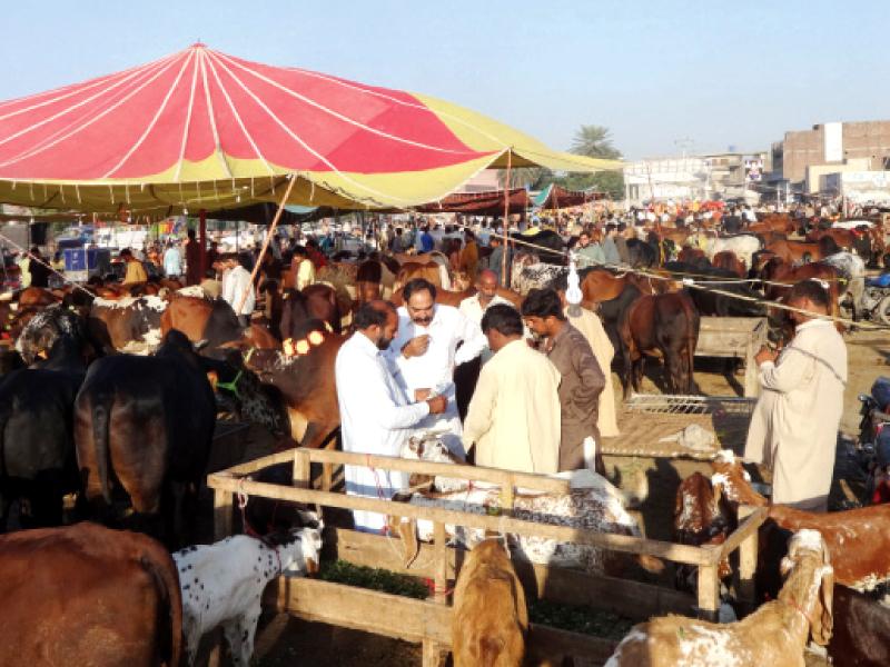 pindi to set up 9 sacrificial animal markets