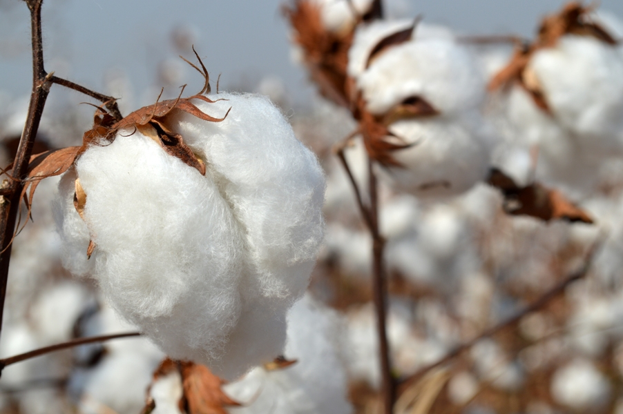 kca is of the view that any intervention by the government public sector organisation in the cotton market will negate the policy of free trading photo file