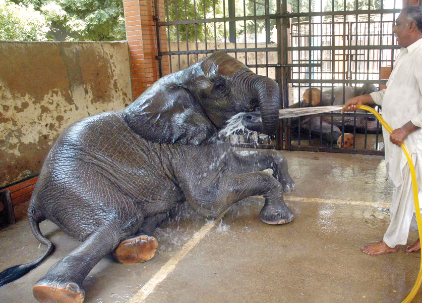 an elephant enjoys herself as zoo staff hose her down with water at the karachi zoological gardens the rise in temperature has affected the zoo animals as there are no ponds for them to cool off in photo file