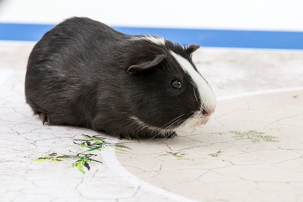 """This picture released on June 6, 2014, by international development charity Swissaid shows a guinea pig called """"Madame Shiva"""". PHOTO: AFP"""