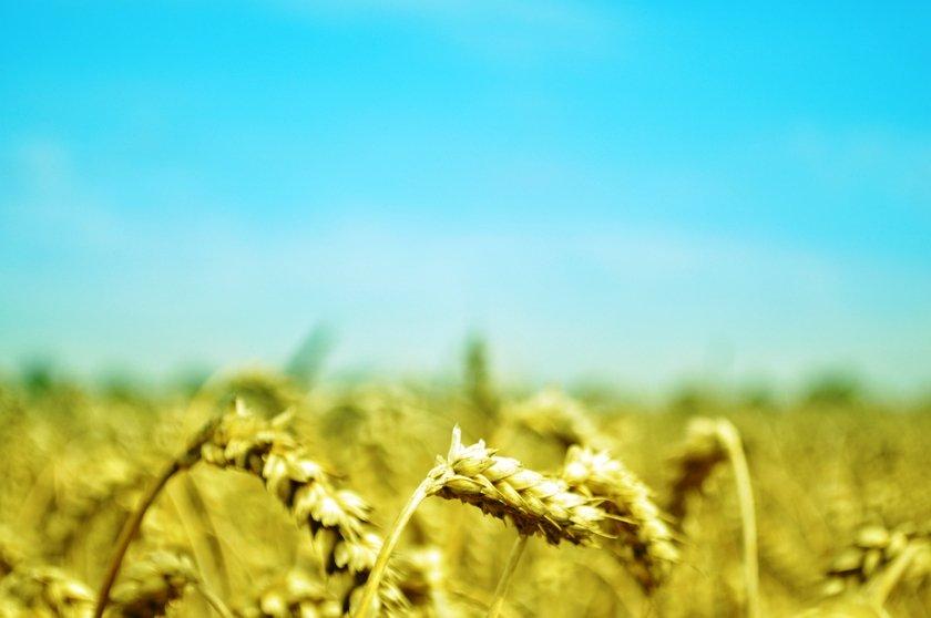 scarcity of rain affects gram crop
