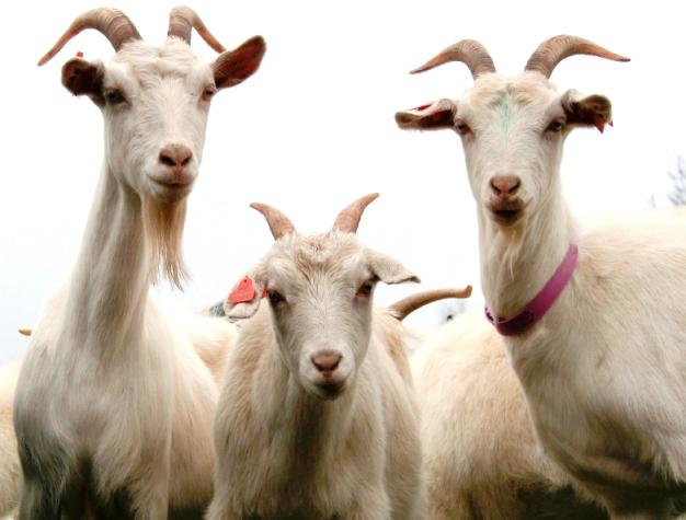 tragic end 30 goats hit to death