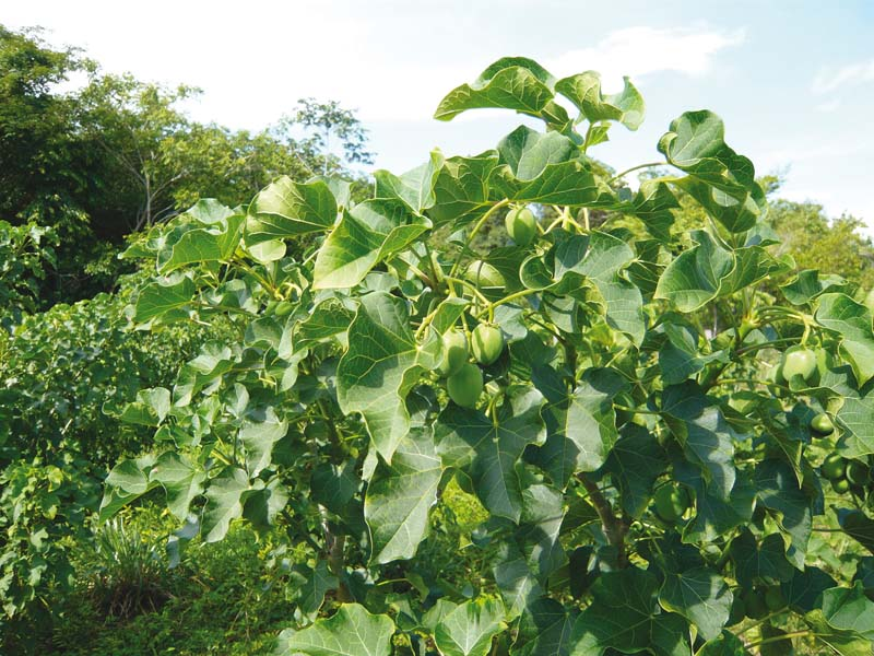 when jatropha seeds are crushed the resulting jatropha oil can be processed to produce a high quality biofuel or biodiesel photo file