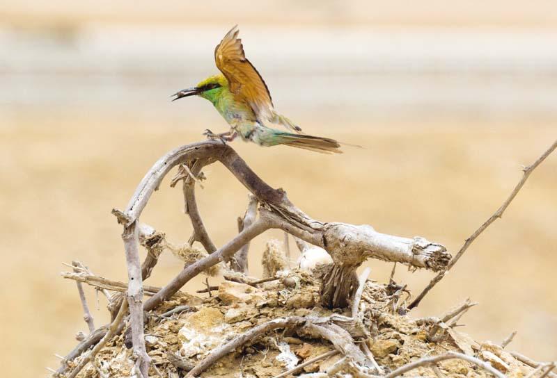 Green bee eater. PHOTOS: EXPRESS