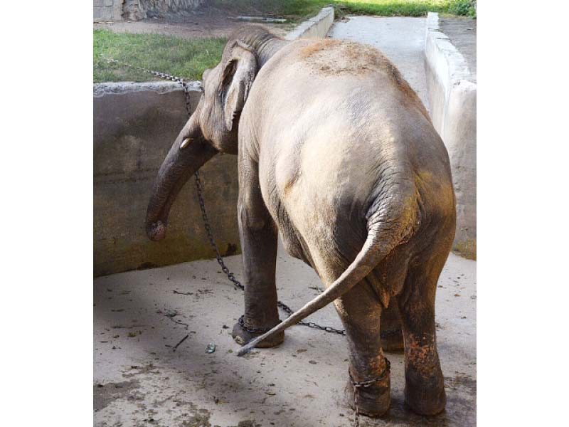 stomped chained elephant to break free