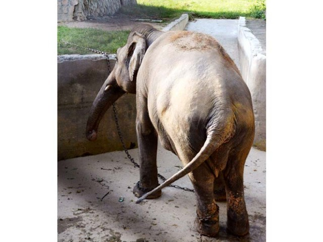 """The 31-year-old Asian elephant, """"Kaavan"""", has been kept in solitary confinement and chained around his legs since his long-term companion Saheli – a female elephant gifted by the government of Bangladesh in early 90s to Pakistan – died in May 2012. PHOTO: EXPRESS"""