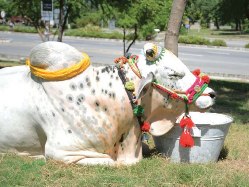 special jewellery sacrificial animals get decked up for eidul azha