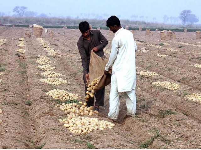 farmers collecting and filling the bags of potatoes at their field photo app
