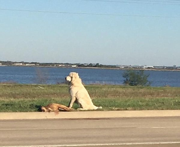 dallas dog who stood guard over fallen friend goes home