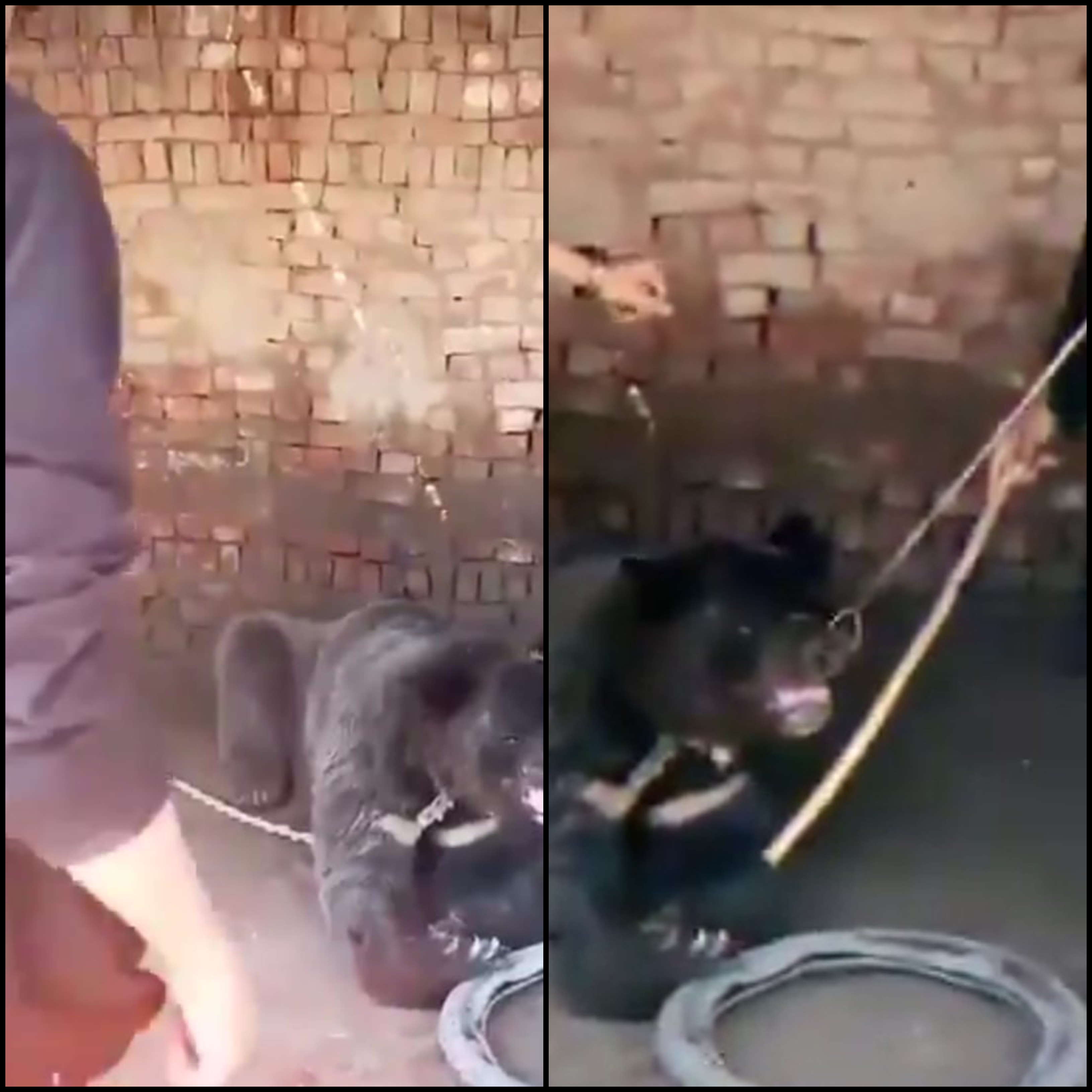 tiktok video spurs quest for chained bear s freedom