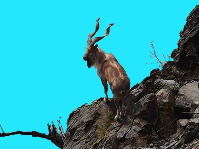 a markhor perched on the steep mountains of bar valley gilgit baltistan pakistan original photo niyal wwf pakistan
