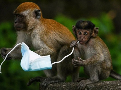 from macaques to crabs wildlife faces threat from face masks