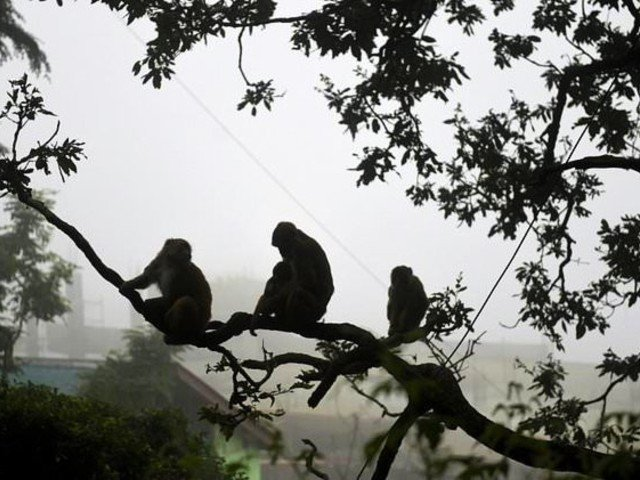 monkeys are a regular sight in some indian cities photo afp file