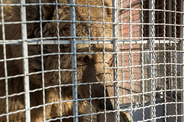 two rare breeds of brown bears sent to jordan from islamabad