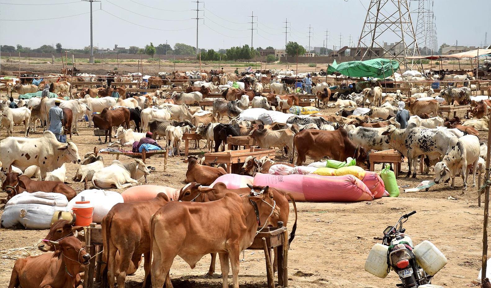 traditional livestock festival draws flocks of visitors