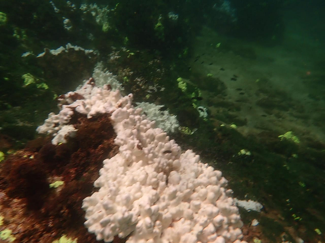A coral pictured near the Churna Island has turned white after environmental conditions possibly caused it to expel the zooxanthellae in its tissues. WWF-Pakistan