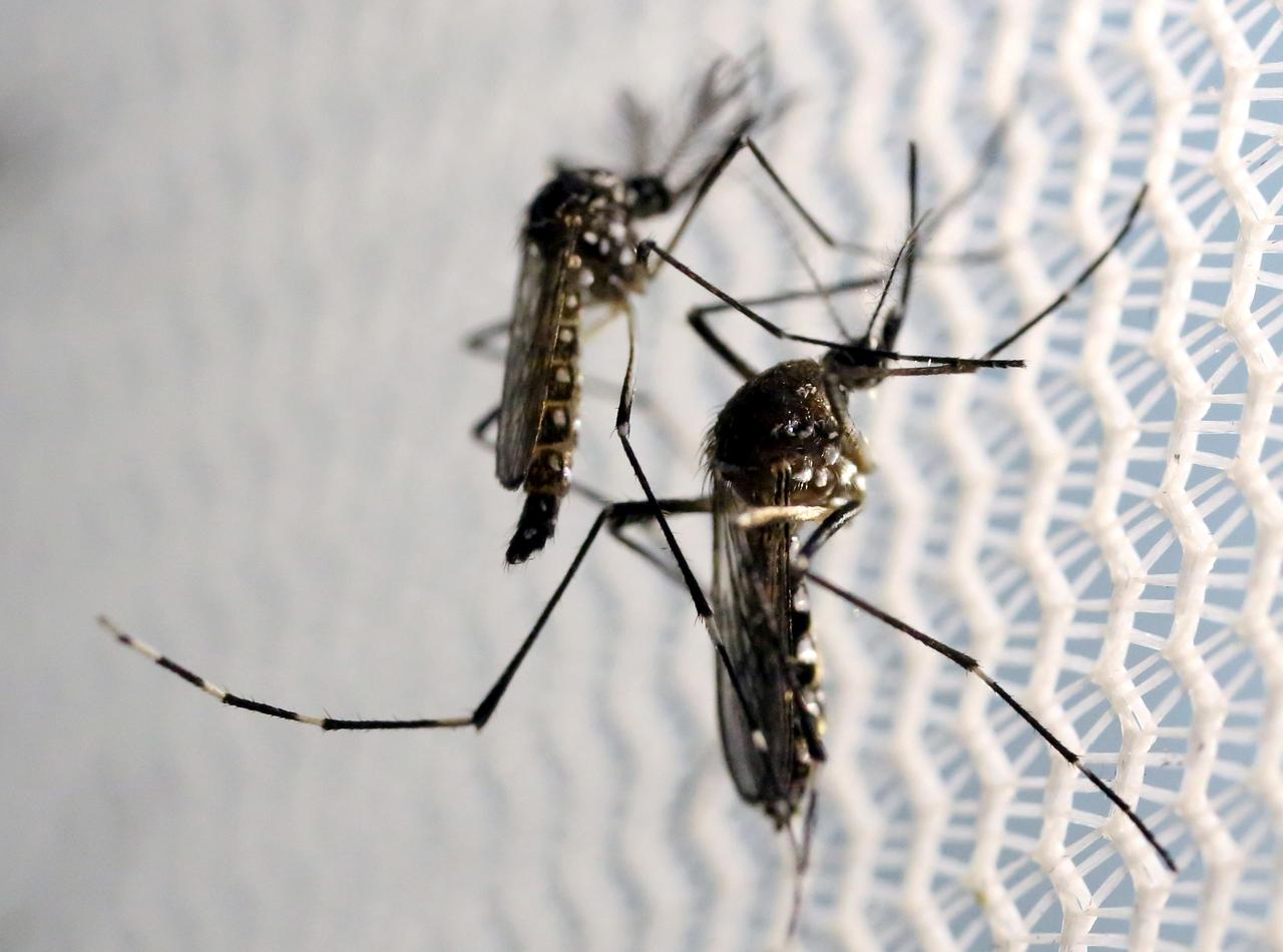 Dengue risk rises along with Covid