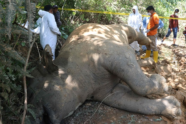 graphic content indonesian police and rangers conduct an investigation on a dead female elephant at the banda alam plantations in east aceh aceh province on july 13 2018 photo afp