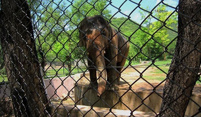 Kaavan the Asian elephant who attracted all the international attention to Islamabad zoo.