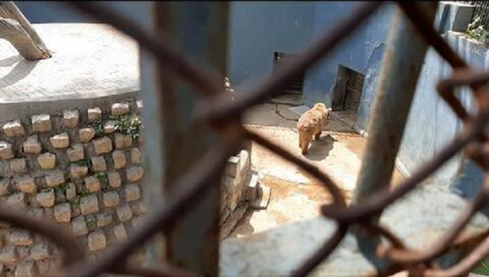brown bear languishing in heat at karachi zoo