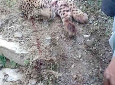 villagers kill leopard while rescuing man